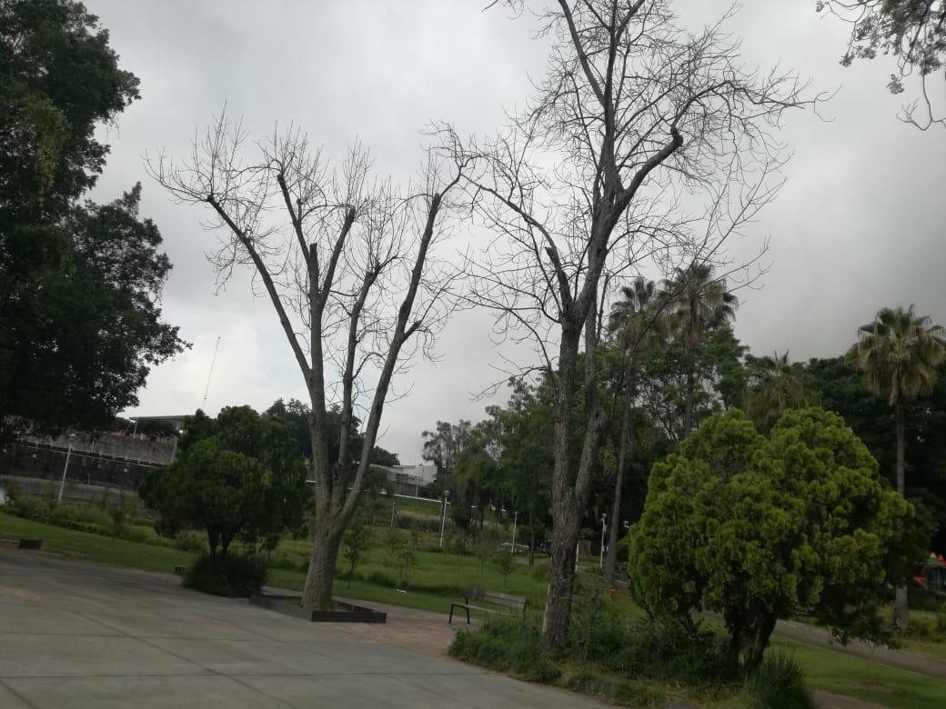 Una veintena de árboles riesgosos para los visitantes están siendo retirados del Parque Alcalde.