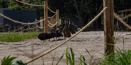Liberación de seis patos en el Parque Ávila Camacho